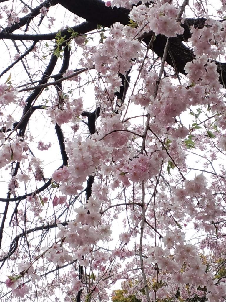 千駄ヶ谷鳩森八幡神社のしだれ桜